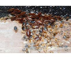 What Should You Know About Bedbugs And How To Eradicate Them