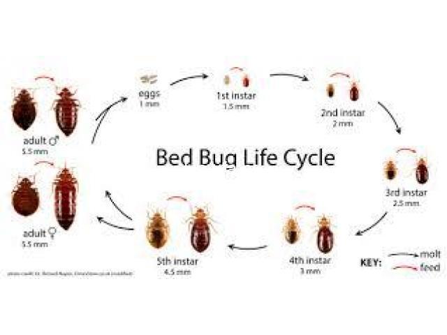 Bed Bug Dangers - 1
